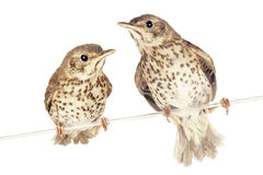 Song thrush Stock Images