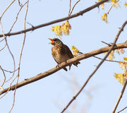 Song thrush. A song thrush, turdus philomelos Royalty Free Stock Photo