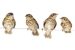 Song thrush. Two song thrush  on a white background Royalty Free Stock Images