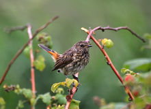 Song Thrush. Small Song Thrush sitting on a branch stock photography
