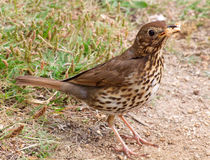 A Song Thrush. Royalty Free Stock Image