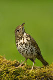 Song thrush. Portrait of a song thrush royalty free stock photography
