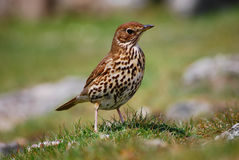 Song Thrush. Close up of a Song Thrush, Isles of Scilly, UK royalty free stock photo