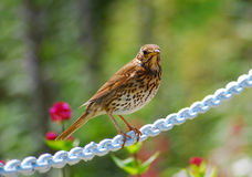 Song Thrush. Close up of a Song Thrush, Isles of Scilly, UK royalty free stock images