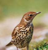 Song Thrush. Close up of a Song Thrush, Isles of Scilly, UK stock photography