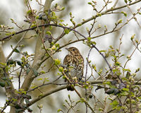 Song Thrush. Adult Song Thrush in tree, partly obscured by foliage Stock Photo