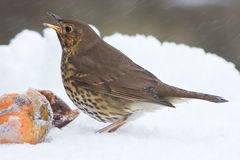 Song Thrush with Apples in Winter Snowstorm Stock Photo