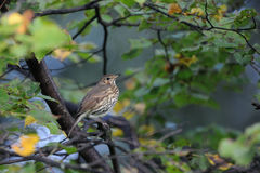 Song Thrush in autumn forest early in the morning. Song Thrush (Turdus philomelos) in autumn forest early in the morning. Moscow region, Russia Royalty Free Stock Image