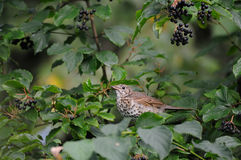 Song Thrush among berries. Song Thrush (Turdus philomelos) at berry bush early in the morning. Moscow region, Russia Royalty Free Stock Photography