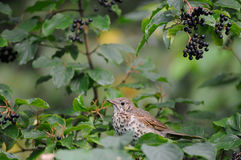Song Thrush among berries. Song Thrush (Turdus philomelos) at berry bush early in the morning. Moscow region, Russia Stock Photo