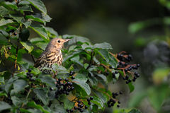 Song Thrush among berries. Song Thrush (Turdus philomelos) at berry bush early in the morning. Moscow region, Russia Royalty Free Stock Image