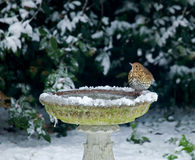 Song Thrush on bird bath in snow. During December 2010 in Sussex, England stock photos