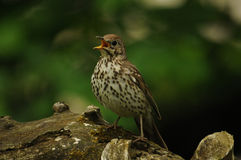 Song thrush bird (Turdus philomelos). Sitting on a tree trunk Stock Photo