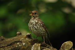 Song thrush bird (Turdus philomelos). Sitting on a tree trunk stock photo