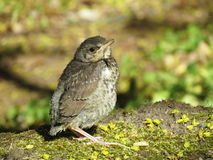 Song-thrush bird. Yang  song-thrush bird in forest on moss Stock Images