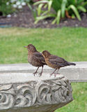 Song thrush on birdbath. Photo of mother and baby song thrush birds perching on ornate stone birdbath Royalty Free Stock Photo