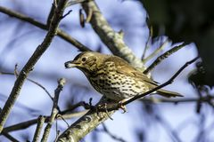 Song Thrush Eating a berry on a branch. Song Thrush on a branch eating a berry from the tree Royalty Free Stock Photos