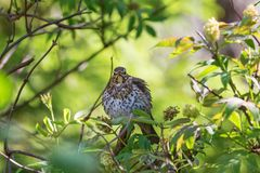 Song thrush on a branch at spring Stock Photography