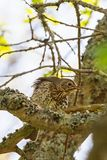 Song thrush on a branch. In the tree Stock Image