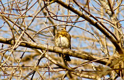 Song Thrush on a branch of a tree. Song Thrush on a branch of a tree in the garden Royalty Free Stock Image