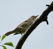 Song thrush on a branch. Song thrush Turdus Philomelos perched on a branch Royalty Free Stock Image