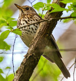 Song thrush on a branch. Song thrush Turdus philomelos perched on a branch Royalty Free Stock Photo