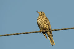 Song Thrush On The Cable Royalty Free Stock Photo