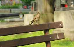 Song thrush on the cemetery Stock Images
