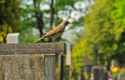 Song thrush on the cemetery Royalty Free Stock Photos