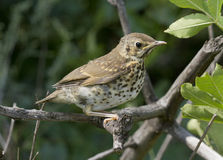 Song thrush chick. Song thrush chick sitting on a branch Stock Photo