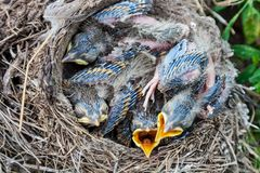 Song thrush chicks sitting in nest. Fledgling chicks Song thrush sitting in nest, life nest with chicks in the wild stock images