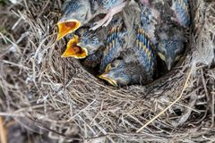 Song thrush chicks sitting in nest. Fledgling chicks Song thrush sitting in nest, life nest with chicks in the wild stock photography