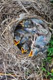 Song thrush chicks sitting in nest. Fledgling chicks Song thrush sitting in nest, life nest with chicks in the wild stock photos