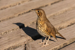 Song thrush. Close up of song thrush Royalty Free Stock Images