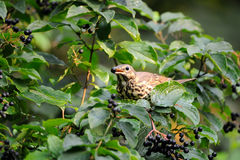 Song Thrush eats berries. Song Thrush (Turdus philomelos) at berry bush early in the morning. Moscow region, Russia stock images