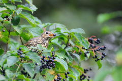 Song Thrush eats berries. Song Thrush (Turdus philomelos) at berry bush early in the morning. Moscow region, Russia Royalty Free Stock Images