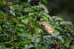 Song Thrush eats berries. Song Thrush (Turdus philomelos) at berry bush early in the morning. Moscow region, Russia Royalty Free Stock Image