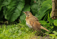 A song thrush in english garden. A song thrush drying feathers in the sun on lawn after just having a bath. wet feathers Stock Photos