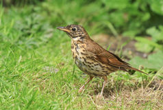 A song thrush in english garden. A song thrush on garden lawn with wet feathers after bath Stock Images
