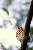 Song Thrush Fledgling. Close up image of a song thrush (Turdus philomelos) fledgling stock photography