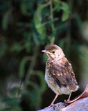 Song Thrush Fledgling. The song thrush (Turdus philomelos) is a thrush that breeds across much of Eurasia. It has brown upperparts and black-spotted cream or Stock Image
