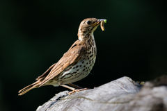 Song Thrush with food in beak. Song Thrush  with food in beak on branch Stock Image