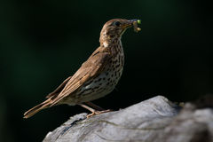 Song Thrush with food in beak. Song Thrush  with food in beak on branch Stock Photo