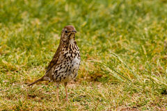 Song Thrush foraging in green grass Royalty Free Stock Image