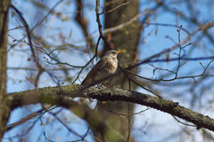 Song Thrush     in the forest. Song Thrush on a branch of a tree in the forest Royalty Free Stock Images