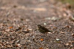 Song Thrush on the forest floor. A Song Thrush on the forest floor stock image