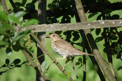 Song thrush. In the garden Stock Photography
