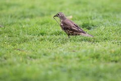 Song thrush. The song thrush on the grass stock photo