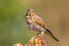 Song Thrush with green garden background. Song Thrush (Turdus philomelos) looking at camera while perched on log with green garden background Royalty Free Stock Photography