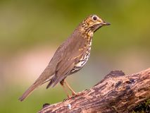 Song Thrush with green garden background. Song Thrush (Turdus philomelos) looking at sky for danger while perched on log with green garden background Stock Photo